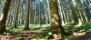 Elmer Naturaufnahme Fichtenbäume