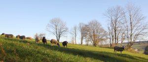 Schafe im mühlviertel