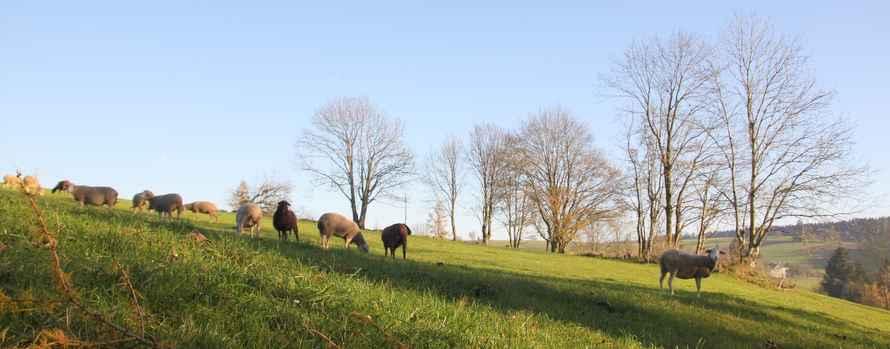 Elmer Naturfoto - Schafe im Mühlviertel