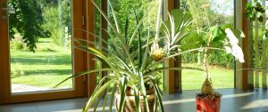 Elmer Wintergarten Ananaspflanze